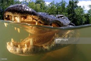 alligatorpark